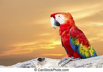 colorido, escarlata, papagallo, aislado, Plano de fondo