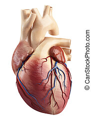 Anatomy Of the heart interior view - 3d rendered...