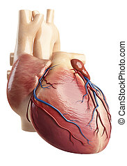Anatomy of heart interior view - 3d rendered illustration of...