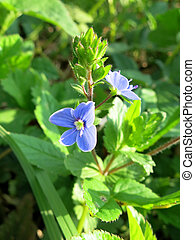 Germander, speedwell, (Veronica, Chamaedrys)