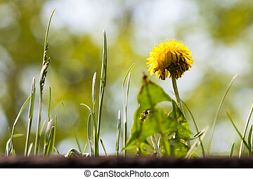 Noxious weed - Looking up at a mature yellow dandilion and...