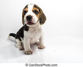 Beagle dog of white background - Beagle dog isolate and of...