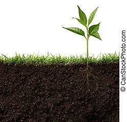 planta, raíces