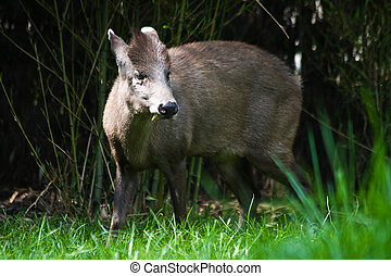 Tufted deer male, looking up from eating grass