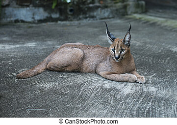 lynx wild cat in africa - lynx wild cat in south africa...