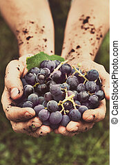 Grapes harvest. Farmers hands with freshly harvested black...