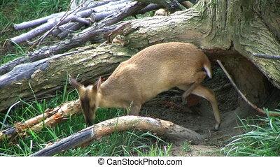 Baby Muntjac Deer Grazing - Baby Reeve\'s Muntjac deer...