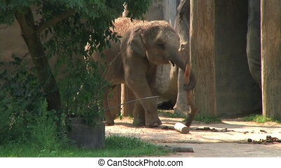 Baby Elephant Carrying Branch - Close-up of baby Asian...