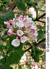 Korean spice viburnum or Arrowwood Viburnum carlesii