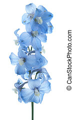 delphinium - Studio Shot of Aqua Colored Delphinium Flowers...