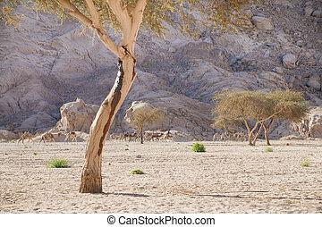 Camels, desert, mountains and acacia trees - Sinai, Egypt:...