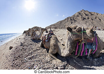 Camels over the Red Sea in Sunny Day