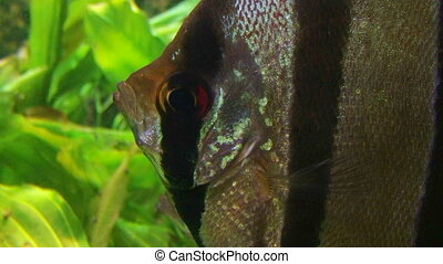 Angelfish in Aquarium - Angelfish in tropical aquarium