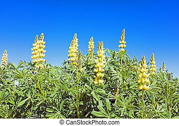 Yellow lupine in portuguese landscape in spring