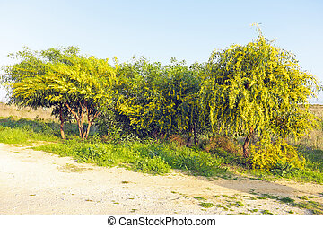 Blossoming mimosa tree in the fields from Portugal in...