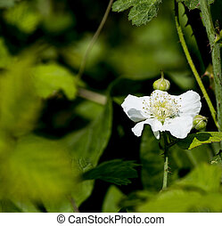 flower of blackberry ina meadow near la spezia