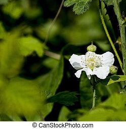 flower of blackberry ina meadow near la spezia
