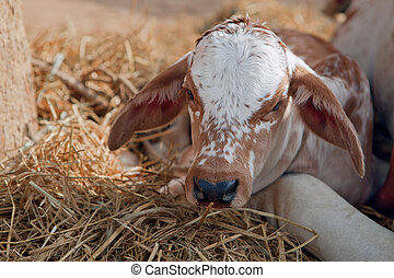 Indian calf - Calf of an indian cow, four days old....