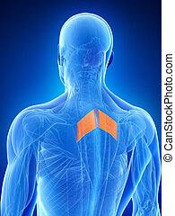 The rhomboid major - Anatomy illustration showing the...