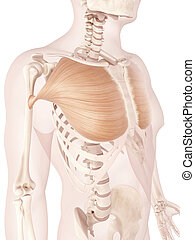 The pectoralis major - Anatomy illustration showing...