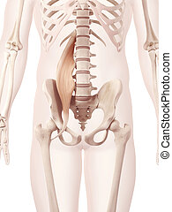The psoas major - Anatomy illustration showing the psoas...