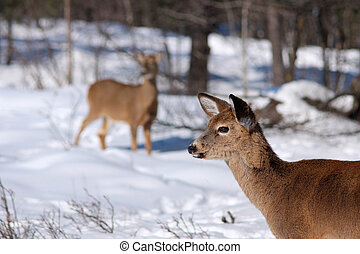 White-tail deer in the snow