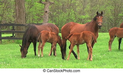 Foal Nursing - Mare with foal nursing
