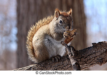 Red squirrel on branch - American red squirrel on bare...