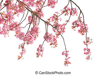 Cherry tree blossom close up