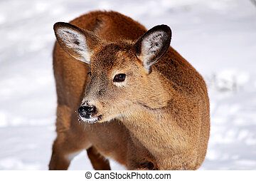 White-tail deer in the snow - Young white-tail deer in the...