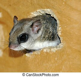 Flying Squirrel - Closeup of a flying squirrel sticking head...