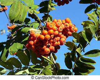 Rowanberry with leafs on the background of blue sky
