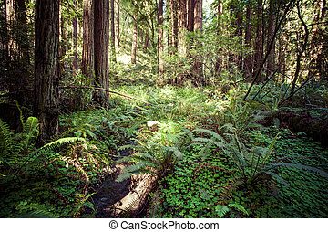 redwood national park in california, usa - Redwood national...