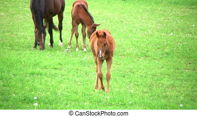 Foal Walking In Pasture - Foal walking in pasture with...