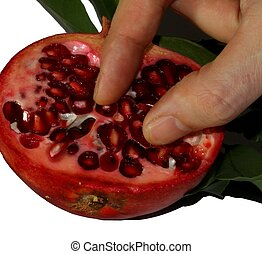 hand of the farmer who collects the seeds of pomegranate...