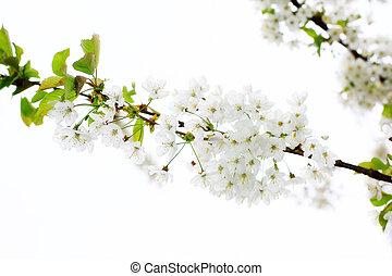 Apple Tree Blossom on white