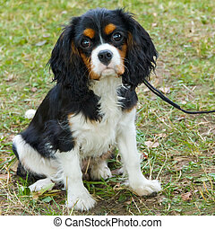 closeup portrait of the dog Cavalier King Charles Spaniel breed