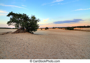 Sand tree - Sunset at the sand plains at Kootwijkerzand in...