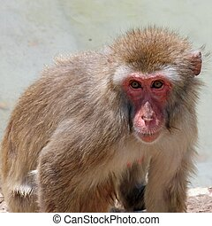 meaningful look of a macaque monkey - deep and meaningful...