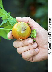 Man keeping moldy tomato - Mold on the tomato in human hand