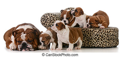 family of dogs - dog family - english bulldog father and...
