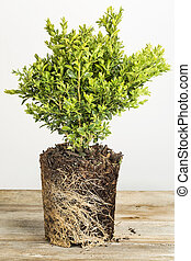 boxwood plant - young plant of boxwood bush with exposed...