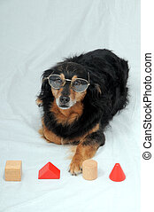 Dog IQ Test - One Old Female Black Dog Doing an IQ Test