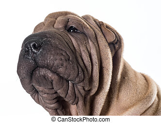 chinese shar pei portrait - chinese shar pei head portrait...