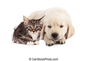 Puppy irritated with kitten - A cute white golden retriever...