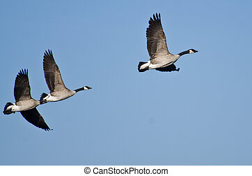Three Canada Geese Flying in Blue Sky