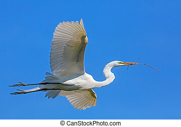 Great Egret Flies with Twig - A large white great egret...