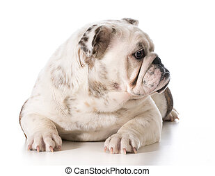 english bulldog laying down looking over shoulder isolated...
