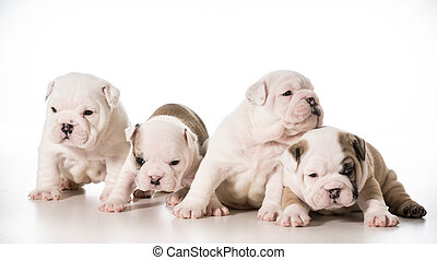 litter of puppies - litter of english bulldog puppies - 4...