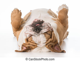 dog sleeping - english bulldog laying on back sleeping - 7...